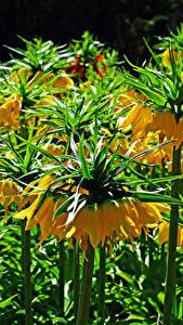 Bilder Fritillaria Nahaufnahme Gelb Blüte