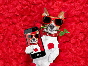 Hintergrundbilder Hund Rose Jack Russell Terrier Brille Smartphones Blütenblätter Roter Hintergrund Lustige Tiere