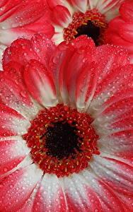 Bilder Gerbera Makro Großansicht Tropfen Rot Blüte