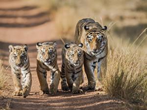 Hintergrundbilder Tiger Jungtiere 5 Tiere