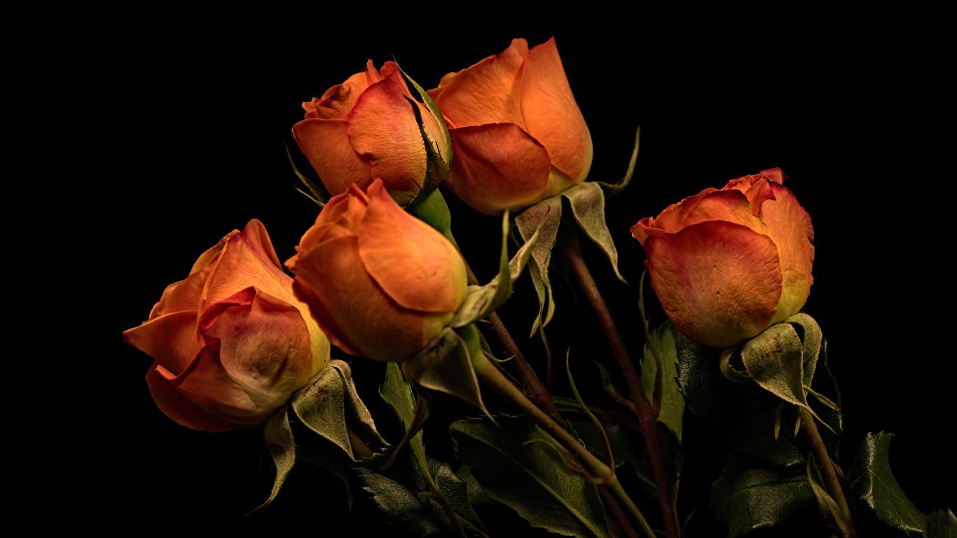 1366x768 Rosas Fundo preto Laranja flor, rosa Flores