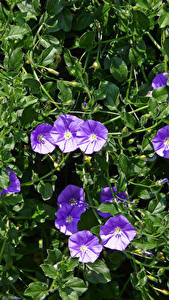 Wallpaper Bindweed Violet Flowers
