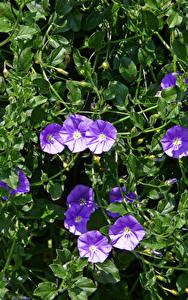 Bilder Winden Violett Blumen