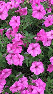 Bilder Petunien Rosa Farbe Blüte