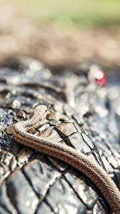 Hintergrundbilder Großansicht Krokodile Schlangen Tiere