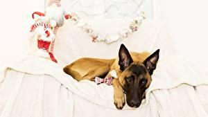 Picture Dogs Bed Shepherd Belgian Shepherd Animals