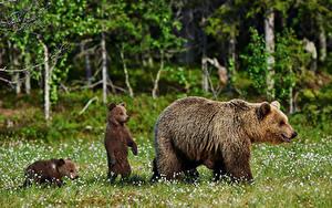 Bilder Bären Braunbär Jungtiere Drei 3 Gras