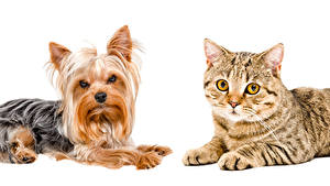 Wallpapers Dog Cats White background 2 Yorkshire terrier Animals