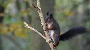 Bilder Hörnchen Ast ein Tier