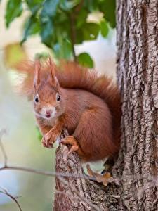 Fotos Hörnchen Nagetiere Baumstamm Unscharfer Hintergrund ein Tier