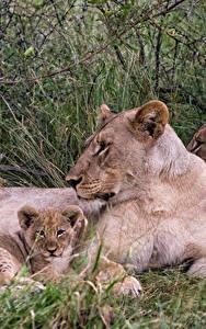 Hintergrundbilder Große Katze Löwe Jungtiere Löwin