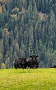 Hintergrundbilder Grünland Kühe Wald Gras Natur