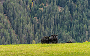 Hintergrundbilder Grünland Kühe Wald Gras