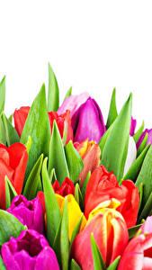 Desktop hintergrundbilder Tulpen Hautnah Weißer hintergrund Bunte Blüte