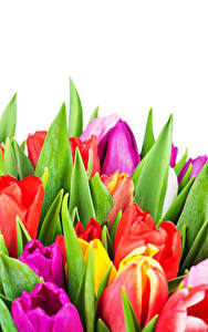 Pictures Tulips Closeup White background Multicolor Flowers