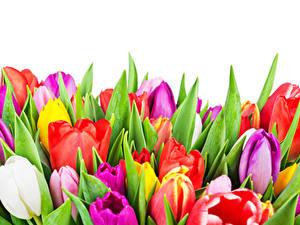 Fotos Tulpen Hautnah Weißer hintergrund Bunte Blüte