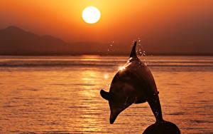 Fotos Delfine Sonnenaufgänge und Sonnenuntergänge Meer Sprung Sonne Tiere
