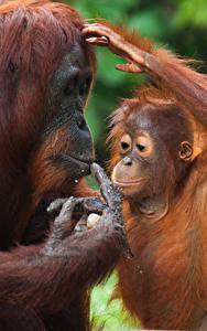 Fotos Affen Jungtiere 2 Orangutan