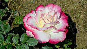 Bilder Rose Nahaufnahme Blatt Blüte