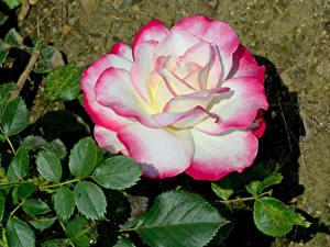 Bilder Rosen Großansicht Blatt Blumen
