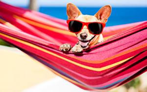Fotos Hunde Hängematte Chihuahua Brille ein Tier