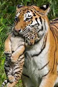 Bilder Große Katze Tiger Jungtiere
