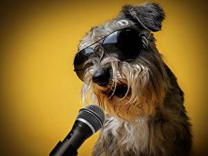 Bilder Hund Farbigen hintergrund Schnauzer Brille Mikrofon ein Tier
