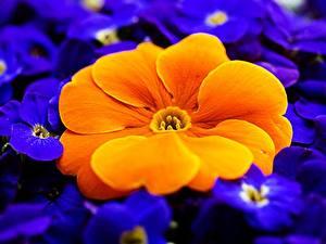 Hintergrundbilder Hautnah Makro Primeln Orange Blumen