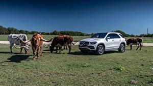 Wallpaper Mercedes-Benz Bulls Silver color Horns 2019 GLE 450 4MATIC Cars Animals