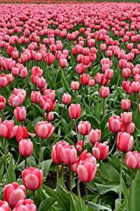 Fotos Felder Tulpen Viel Rosa Farbe Blumen