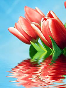 Hintergrundbilder Tulpen Nahaufnahme Rot Reflexion Blumen