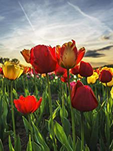 Fotos Acker Tulpen Hautnah Himmel Blüte