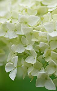 Hintergrundbilder Hortensien Großansicht Weiß Blumen