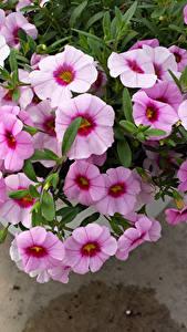 Fotos Petunien Nahaufnahme Rosa Farbe Blüte