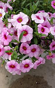 Fotos Petunien Großansicht Rosa Farbe Blumen