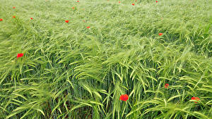 Bilder Acker Mohn Weizen Ähre Natur