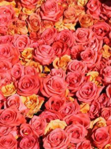 Fotos Textur Rosen Rosa Farbe Blumen