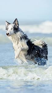 Pictures Waves Dogs Water Run Border Collie Animals