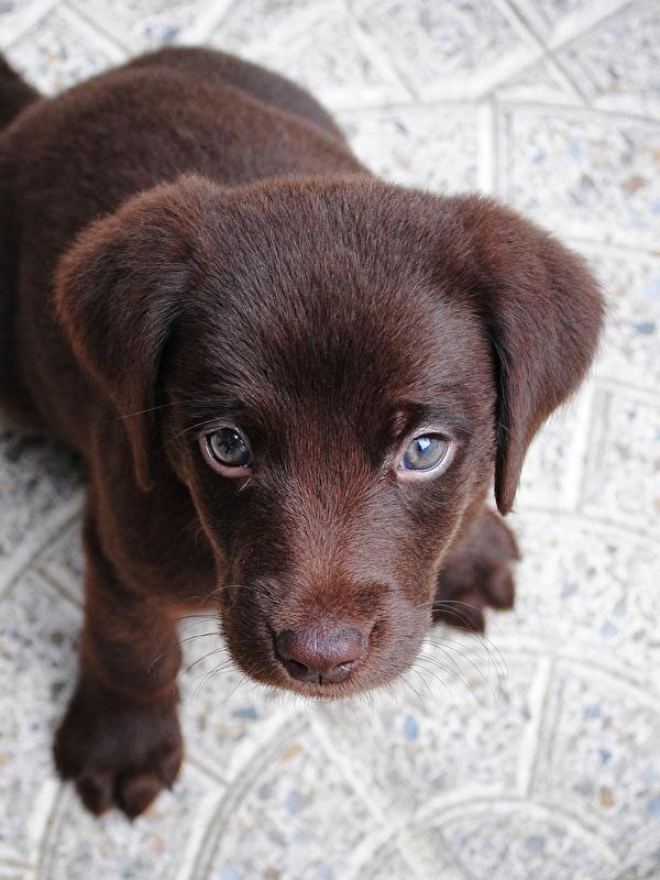 600x800 Cão Cachorrinho Labrador retriever Ver De acima animalia, um animal, cães, cachorro, filhotes, filhote de cachorro Animalia para celular Telemóvel