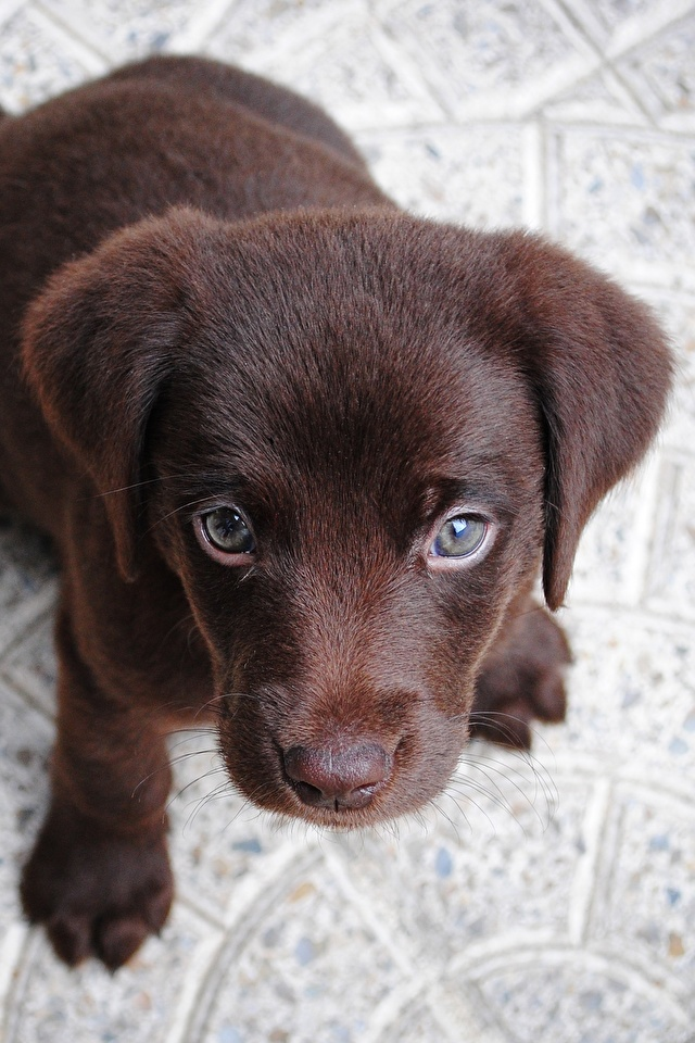Photos Puppy Labrador Retriever Dogs From above animal Staring 640x960 for Mobile phone puppies dog Glance Animals