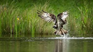 Bilder Vogel Wasser Habicht Flügel Wasser spritzt ein Tier