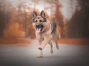 Pictures Dogs German Shepherd Running Tongue Animals