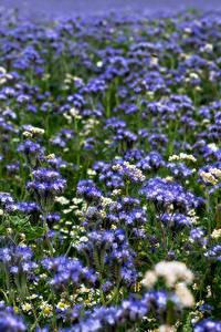 Fotos Sommer Grünland Unscharfer Hintergrund Phacelia Blumen Natur