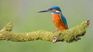 Pictures Birds Common Kingfisher Sitting Branches Moss Animals