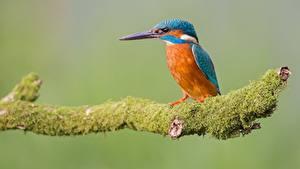Papéis de parede Aves Guarda-rios-comum Sentados Galho Musgos Animalia