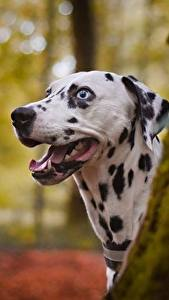 Wallpapers Dogs Dalmatian Head Tongue animal