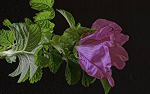 Hintergrundbilder Rosen Großansicht Rosa Farbe Blattwerk