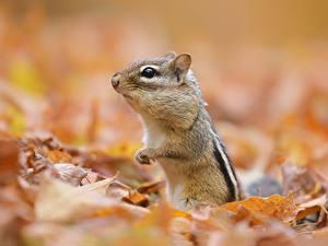 Hintergrundbilder Nagetiere Chipmunks Bokeh Blattwerk Tiere