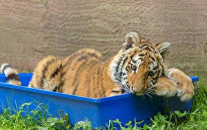 Hintergrundbilder Große Katze Tiger Jungtiere
