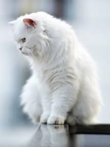 Image Cat Bokeh Sitting White Fluffy animal